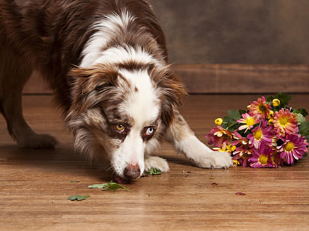 Dog on Hardwood floor | Carpets by Direct